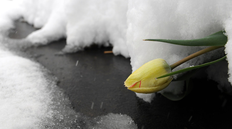 A tulip is bent over under heavy snow in downtown Loveland on Monday, April 15, 2013.