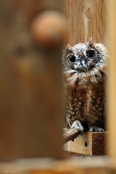 A red morph Eastern Screech-Owl peers through an opening in the education building of the Rocky Mountain Raptor Program on Tuesday in Fort Collins.
