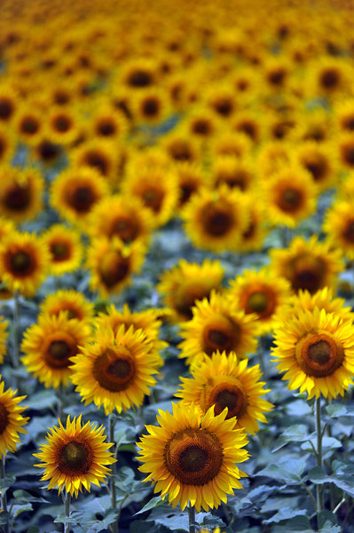 Sunflowers bask in the mid-morning sun at a local Berthoud farm Thursday.