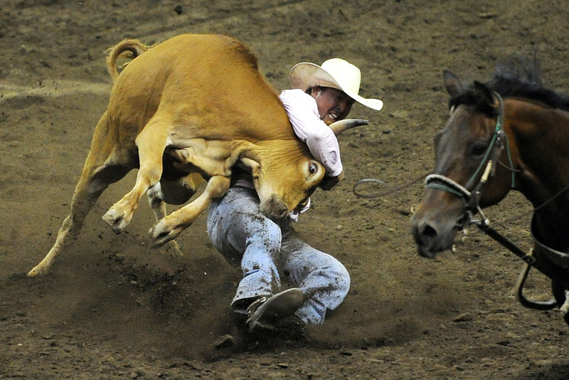 Cody Pratt of Pueblo, Colo. competes in steer wrestling during the Larimer County Fair and Rodeo on Tuesday, Aug. 7, 2012 at the Budweiser Events Center.