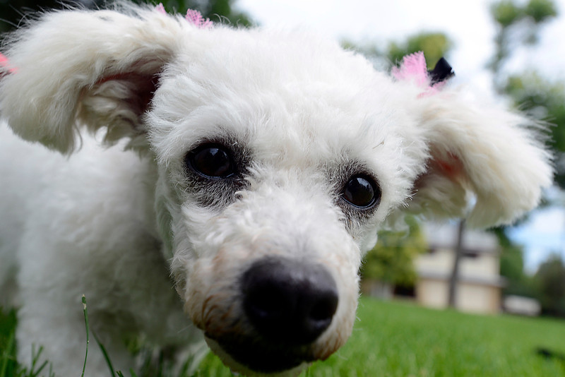 Bijou, a 6-year-old poodle mix, is being fostered by Loveland's Leslie and Nelson Herman. She is up for adoption through the Izzy's Place Senior Dog Rescue.