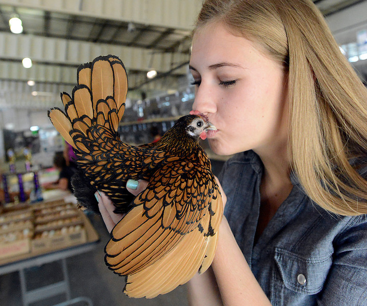 Madison Waggoner of Loveland, 15, smooches Gorgeous, her golden sebright bantam chicken, Tuesday before competing in poultry showmanship at the Larimer County Fair at The Ranch. Madison was awarded overall Grand Champion poultry exhibit. She and Gorgeous also won feather legged bantam Grand Champion and overall bantam chicken Grand Champion.