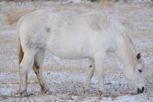 A horse seems to blend into a background of freshly fallen snow as it munches in a field along County Road 19E on Wednesday.