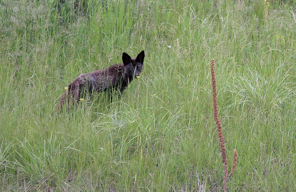 A black fox hunts for food off of the Horsetooth Falls Trail in Horsetooth Park in Fort Collins.