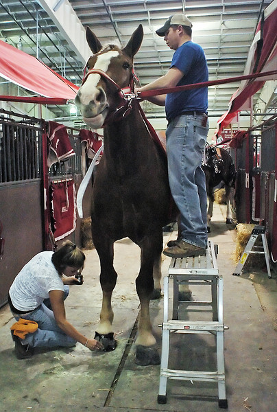 Rose Gingerich, left, polishes the hoof of a Belgian mare named Shery Ann while Josh Steffen attaches braids to her mane in preparation for showing during the Big Thunder Draft Horse Show on Saturday at The Ranch.