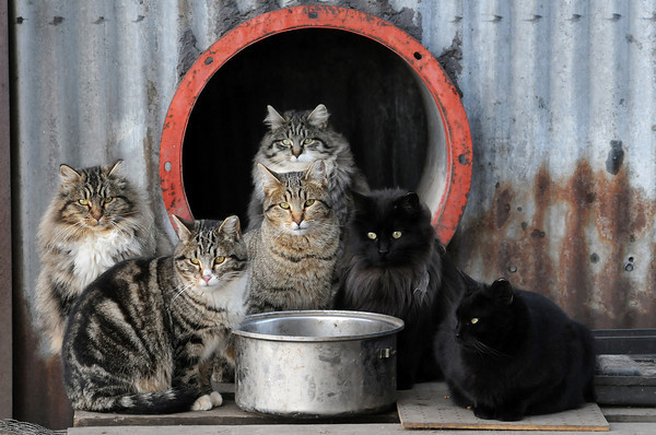 A colony of feral cats sits around a water bowl at the old sugar factory on Thursday. Melodee and Mark Warter have been feeding the cats and recently were instrumental in having all but two of them spayed or neutered.