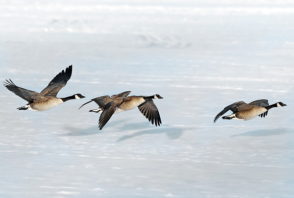 Several Canada geese skim over the frozen surface of Lake Loveland late Saturday afternoon before coming to a landing on the ice where other geese were congregating.