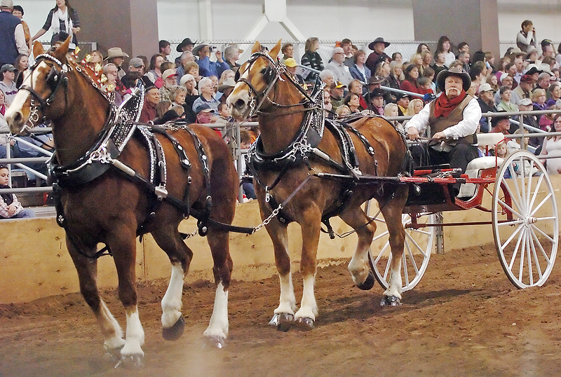 Mike Gustafson of Blanco, N.M. drives his team of Belgian horses around in front of spectators in Ranch-Way Feeds Indoor Arena during the tandem-class competition of the Big Thunder Draft Horse Show on Saturday at The Ranch.