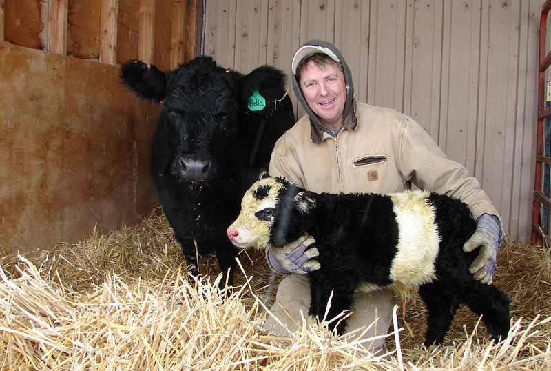 Chris Jessen holds Ben, a newborn miniature panda calf, on Dec. 31, 2010 as its mother Bella, a lowline Angus cow, stands by in her stall on Jessen's farm east of Campion, Colo. (AP Photo/Loveland Reporter-Herald, Tom Hacker)