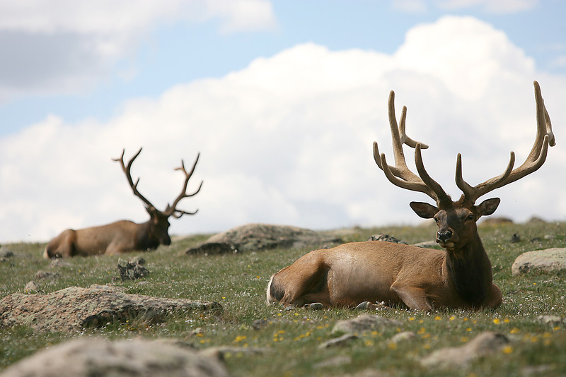 Elk relax off Trail Ridge Road Tuesday in Rocky Mountain National Park.