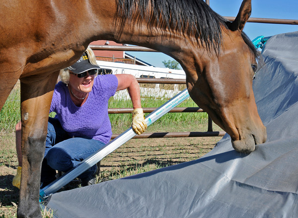Ann Warren tries to set a Shady Shelter while her horse Demi takes a bite out of the tarp. Shady Shelters are portable corrals that provide shade for large farm animals like horses and cows.