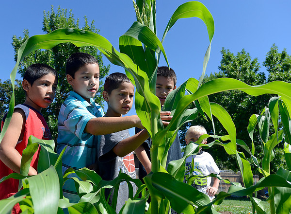 Kids in the Cooking Matters class check out some corn growing in the garden at Van Buren Elementary School on Wednesday. From left they are David Gonzales, 6, Santos Bencomo, 8, Alex Gonzales, 7, Jacob Bencomo, 8, and Kevin Regelman, 7.
