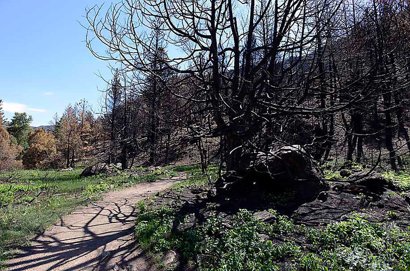 Blackened trees and boulders line one side of Young's Gulch Trail and lush green vegetation lines the other side Tuesday in the Poudre Canyon. The Burn Area Recovery Team identified ways to mitigate flooding in the High Park fire burn area. Trails like this one are closed due to hazards after the fire.