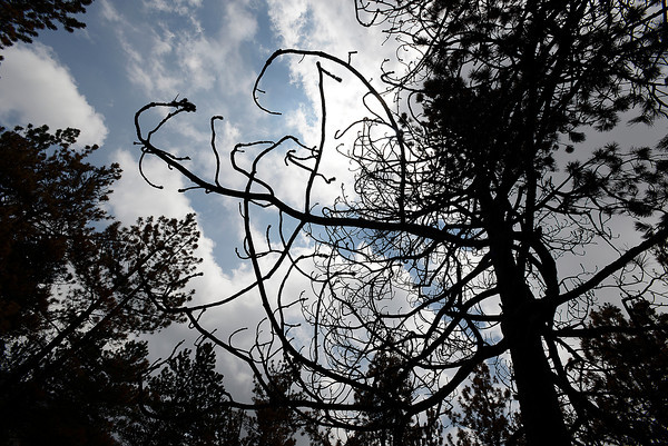 A charred tree is silhouetted against the sky Monday off Davis Ranch Road in the High Park fire area. High Park fire victims gathered Monday for a meeting with county officials who provided information about dealing with the fire's aftermath.