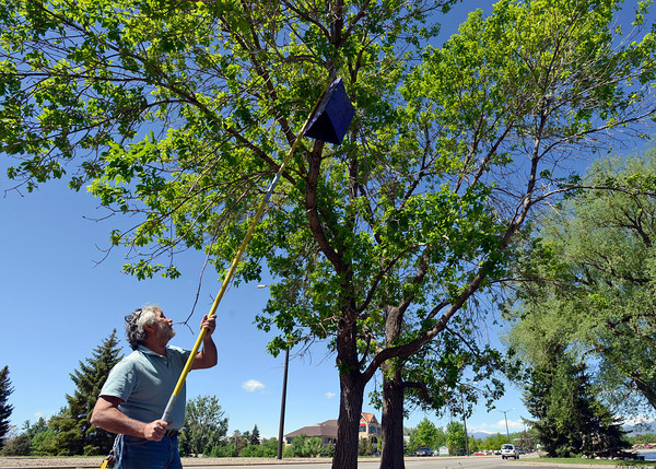 Rob MacDonald, forestry specialist for the City of Loveland, hangs a trap for Emerald Ash borer beetles in an ash tree at South Shore Parkway near Lake Loveland on Friday, May 31, 2013.