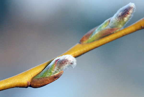 Buds emerge from the branch of a tree last week at the Benson Park Sculpture Garden in Loveland.