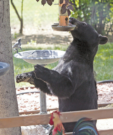 A young male black bear examines a bird feeder in the backyard of a house in southwest Loveland on Saturday afternoon as it looks for food. Colorado Division of Wildlife District Wildlife Manager Rick Spowart shot the bear with a tranquilizer gun and loaded it into a trailer to release it back into the wild in the mountains. Spowart said the typical berries and vegetation that bears like to eat have suffered due to drought conditions and that has caused them to search elsewhere for food.