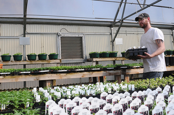 Gateway Garden and Home Center employee Chris Lee carries a tray of tomato plugs that he prepared in the greenhouse Friday afternoon.