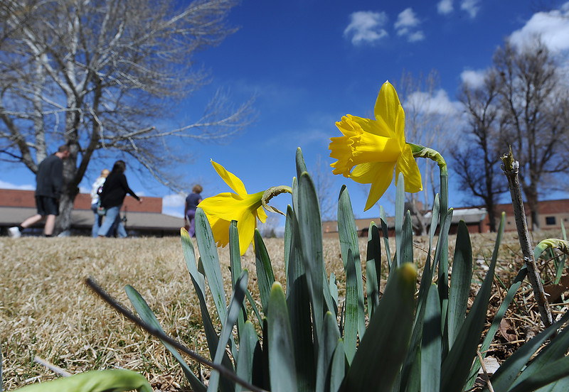 Daffodils are in full bloom Monday as folks walk on the path around Foote Lagoon in downtown Loveland. Photo by Jenny Sparks