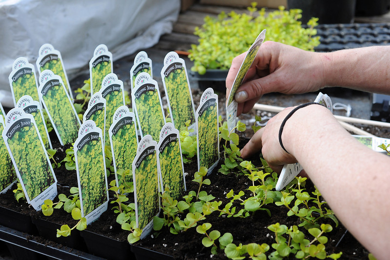 Gateway Garden & Home Center employee Mary-Alice Beams places planting guide tags into creeping Jenny plants Friday in the downtown Loveland greenhouse located at 530 N. Garfield Ave.