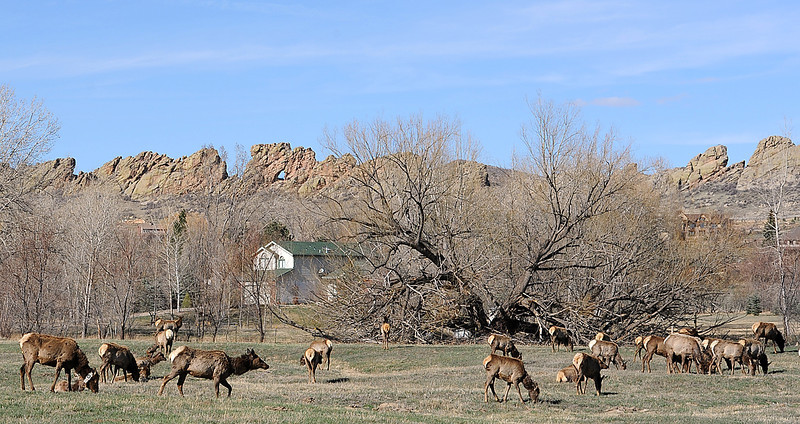 A herd of elk graze on private property Wedneday afternoon on Glade Road west of Loveland.