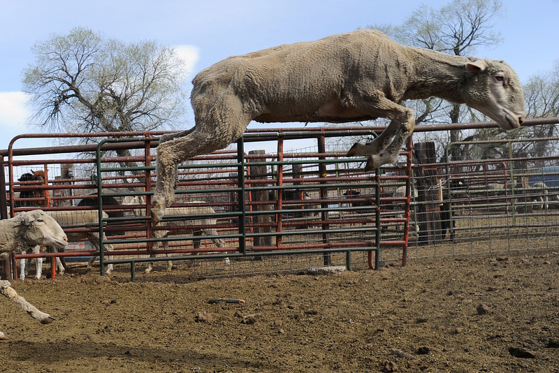 A sheep leaps through the air while being transferred from one part of a corral to another Tuesday, March 27, 2012 at the Ewe Bet Ranch southeast of Loveland.
