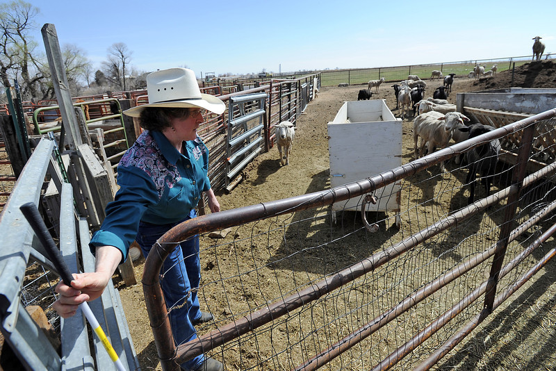 Teresa Beemer opens a gate Tuesday, March 27, 2012 at her family farm southeast of Loveland called the Ewe Bet Ranch to let sheep through the corral.
