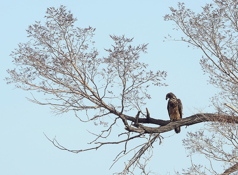 An eagle perches in a tree Wednesday afternoon south of 29th Street just east of Madison Avenue in Loveland. Photo by Jenny Sparks
