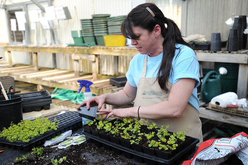 Gateway Garden & Home Center employee Mary-Alice Beams transfers creeping Jenny plugs into containers Friday in the downtown Loveland greenhouse located at 530 N. Garfield Ave.