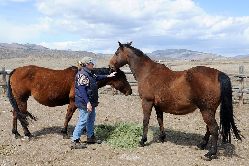 Veterinarian Dr. Susan Williams feeds two pregnant mares Friday, March 29, 2013 on her property in west Loveland that she rescued from slaughter.
