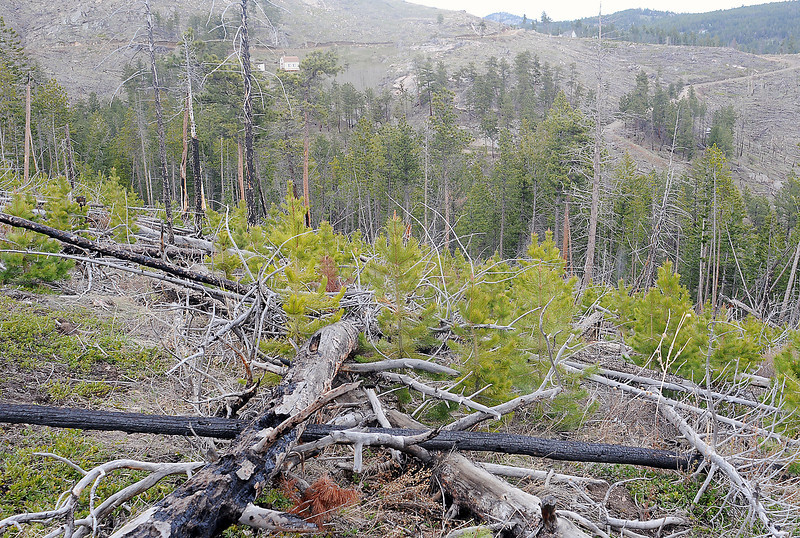 A number of small trees cover a hillside beginning to replace trees that were lost during the Bobcat Gulch fire raged through the area 10 years ago and burned 10,600 acres.