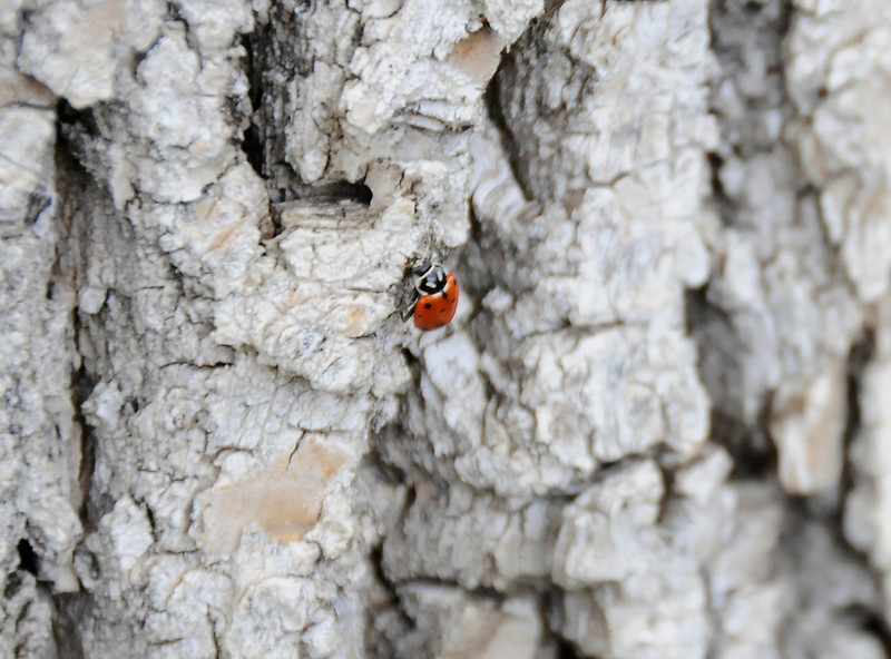 A freed ladybug makes her way up a tree.