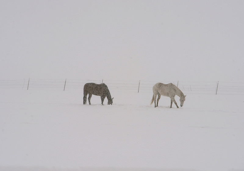 Horses graze in a snow covered field on Taft Avenue south of 57th Street in Loveland on Wednesday, May 1, 2013.