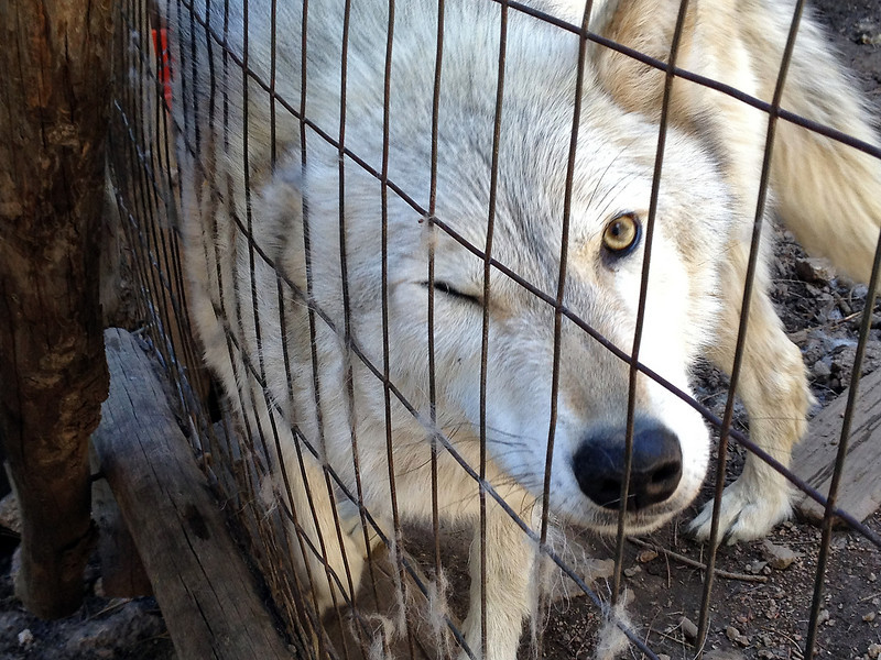 Isabeau, a rescued wolf, rubs against the fence of her enclosure at the WOLF Sanctuary west of Fort Collins. Isabeau is one of 28 wolves and wolf dogs that come from troubled backgrounds who live at the sanctuary.