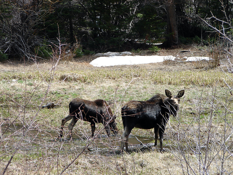 A cow moose and her yearling calf browse along the Big Thompson River just off the Fern Lake Trail in Rocky Mountain National Park on May 13, 2013.