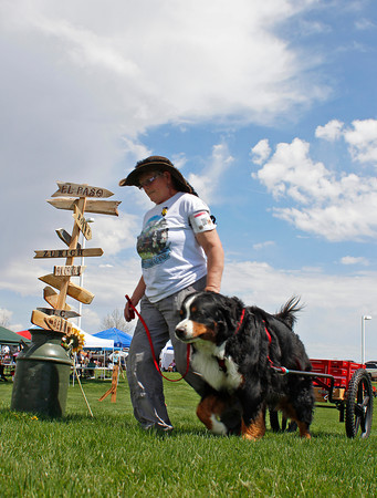 """Melanie Koon, from Richland, Wash., leads her Bernese Mountain Dog, Zuma, around a course Tuesday morning while participating in a drafting event at the Bernese Mountain Dog Club of America's """"Rendezvous in the Rockies"""" dog show at The Ranch in Loveland."""