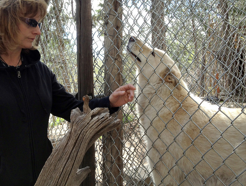 Sasha gets some loving attention from Shelley Coldiron, executive director of the Wolf sanctuary west of Fort Collins. Sasha is one of three ambassadors social enough to visit schools and events to educate people about wolves and wolf dogs.