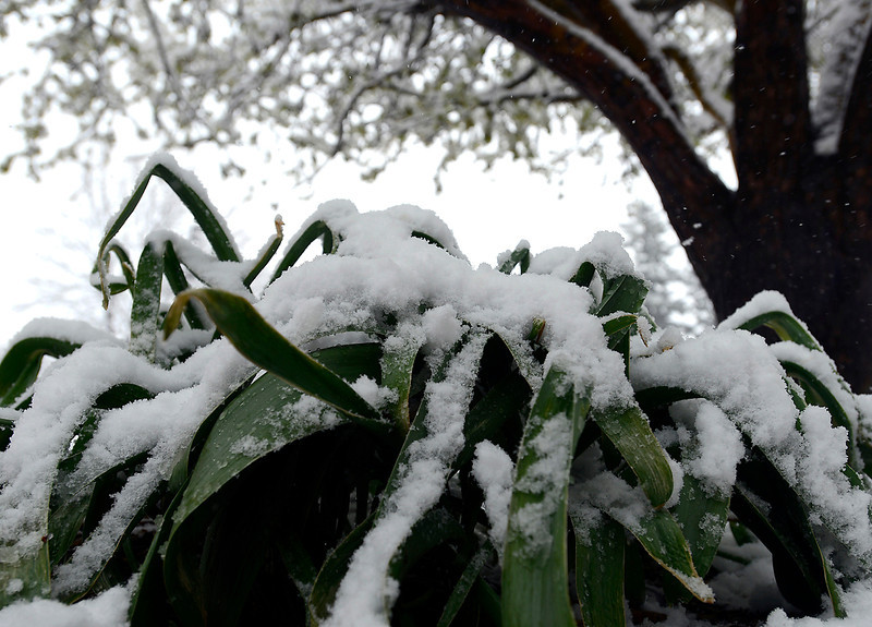 Spring flower leaves droop from heavy snow at the Civic Center in Loveland on Wednesday, May 1, 2013.