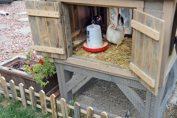Bantam chickens Geisha-Girl, right, and Milagro hang out recently in their coop in the backyard of Lori Glasgow's home in Loveland.