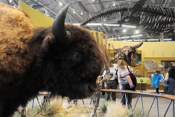 """Mary and Kenneth Dunnington of Fort Collins read the information at the display of modern bison and a skeletal Ice Age bison. Mary Dunnington said the new Fort Collins Museum of Discovery is """"fantastic, unbelievable."""" (Photo by Craig Young)"""