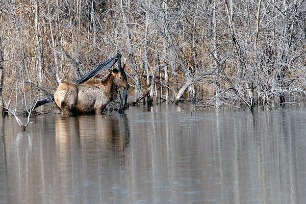 A bull elk struggles to free itself Friday morning from some plastic wrapped around its antlers that was also tangled in the trees on the shore of Buckingham Lake in southwest Loveland.