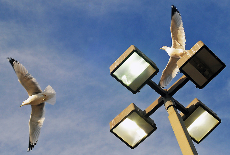 Several gulls take flight from their perch high atop a light pole in the parking lot at Thompson Valley High School on Saturday.