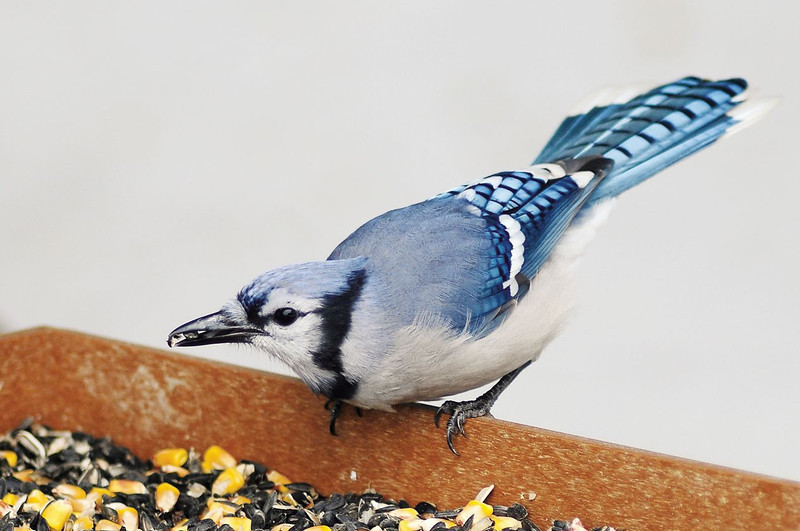 A blue jay eats seeds from a feeder on Sunday at the home of Connie Kogler in Loveland.