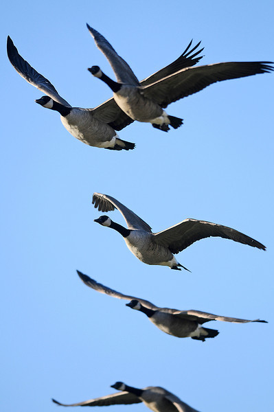 Geese fly over Centennial Field on Tuesday afternoon.