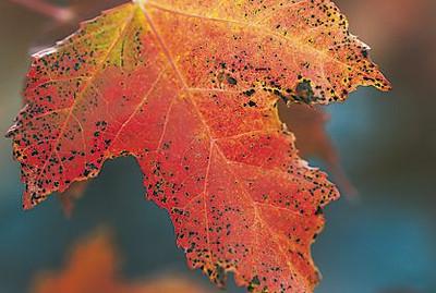 A leaf near the Loveland Museum/Gallery.
