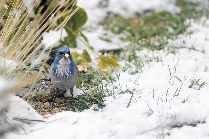 A Western Scrub Jay forages for corn kernels at the home of Connie Kogler in Loveland. According to Kogler, the bird is seldom seen near her home but instead keeps to its habitat near in the foothills. Kogler, spent Sunday morning counting and identifying 38 different species of birds from a 17-foot diameter circle in her front yard.