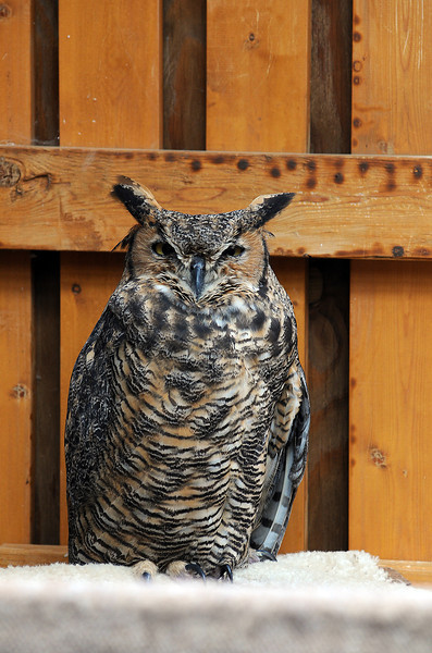 A great horned owl perches in the flight cages at the Rocky Mountain Raptor Program's flight cages in August.