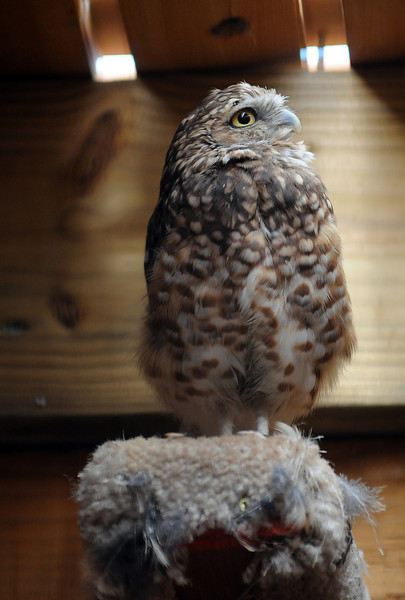 An owl in perches in the flight barn at the Rocky Mountain Raptor Program's flight barn in August.