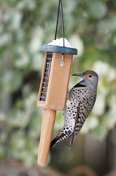 A northern flicker feeds in the backyard of Loveland ornithologist Connie Kogler in Loveland.