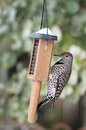 A northern flicker feeds in the backyard of Loveland ornithologist Connie Kogler in Loveland.